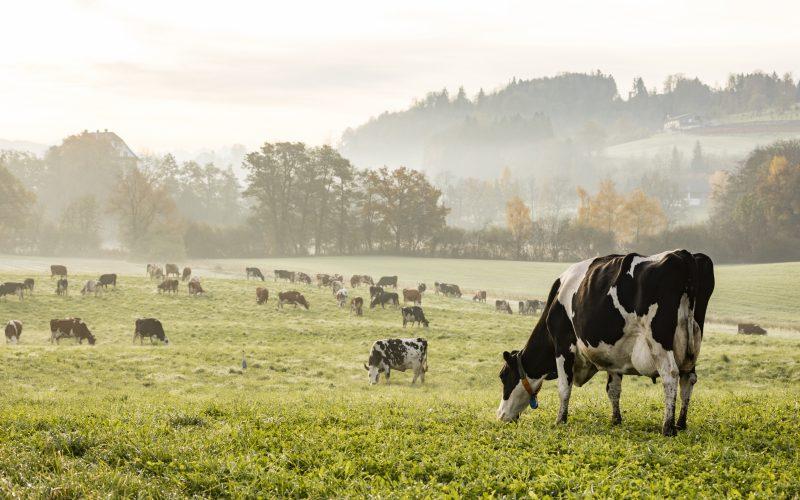 Ketoza u krów- co to jest, jak sobie radzić, istota stosowania gliceryny i glikolu propylenowego