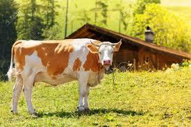 Silent heats in cows